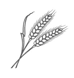 ears wheat vector image