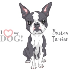 sketch dog Boston Terrier breed serious vector image vector image