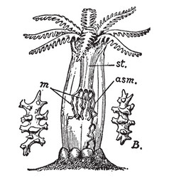 alcyonarian vintage vector image