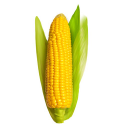 Corn ear isolated on white vector image vector image