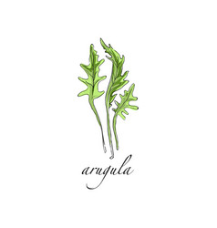 arugula fresh culinary plant green seasoning vector image