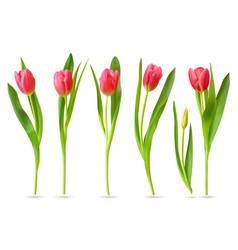 realistic tulip pink red buds tulips spring vector image