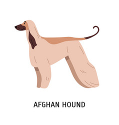 Afghan hound or tazi gorgeous dog of hunting vector