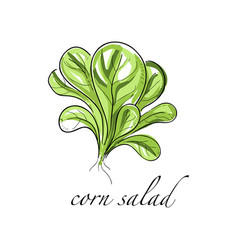 corn salad fresh culinary plant green seasoning vector image