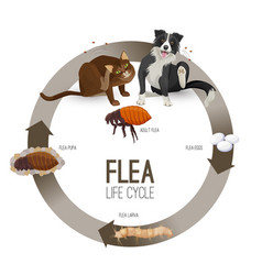Flea life cycle circle with headlines vector
