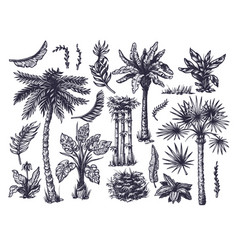 set graphic tropical trees such as palm banana vector image
