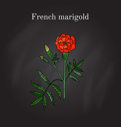 tagetes or french marigold hand drawn vector image