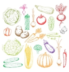 Sketch icons of freshly harvested vegetables vector image vector image