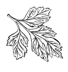 a sprig of parsley drawn contour vector image