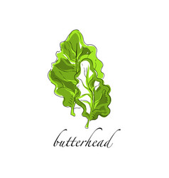 Butterhead fresh culinary plant green seasoning vector