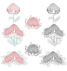 Waratah or telopea australian native bush flower vector