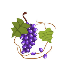 Fresh bunch of red grapes winery production vector