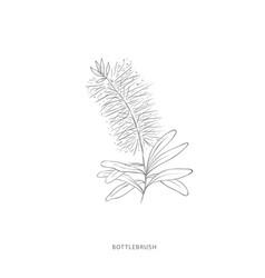 Hand drawn bottlebrush flowerplant design vector