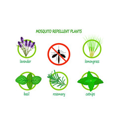 Mosquito repellent plants infographic isolated vector