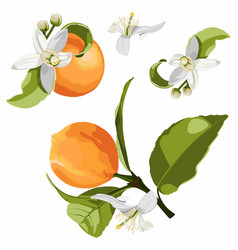citrus isolated orange fruit branch with flowers vector image
