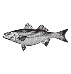 Striped bass vintage vector