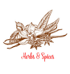Herbs and spices sketch with mint vanilla anise vector