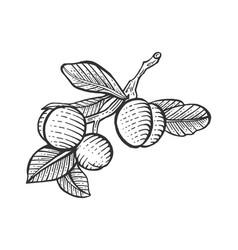 plum sketch engraving vector image