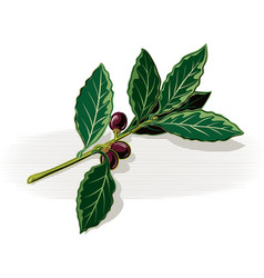 Sprig of bay leaves on a white background vector
