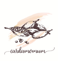 cardamom sketch on watercolor paint hand drawn vector image