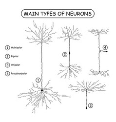 Four main types of neurons isolated on white vector