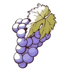 grapes dark blue or purple berry cluster vector image