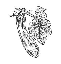 zucchini sketch engraving vector image
