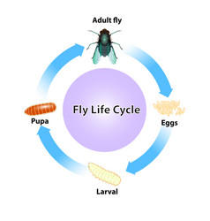 fly cycle vector image