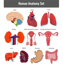 Human anatomy set Human organs detailed vector image