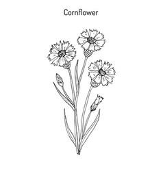 Cornflower centaurea cyanus medicinal and honey vector