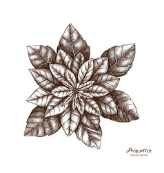 hand drawn poinsettia vector image