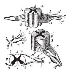 Nerve roots vintage vector