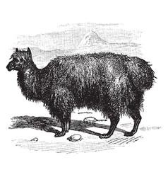 alpaca vintage vector image