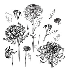 Japanese chrysanthemum set collection with vector