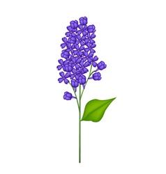 Blue Lilac or Syringa Vulgaris on White Background vector image