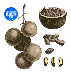 Hand drawn brazil nuts vector
