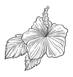 hibiscus flower plant with leaves hand drawn vector image