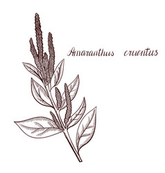 Drawing amaranth plant vector