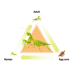 Life-cycle mantis vector