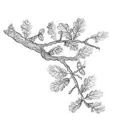 Oak leaves and acorns as vintage engraving vector image