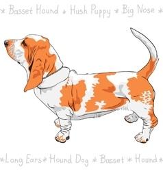 Dog basset hound breed vector