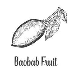 Baobab Fruit vector