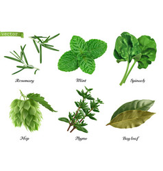greens and spices realistic set rosemary mint vector image