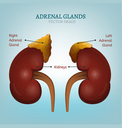 adrenal glands image vector image