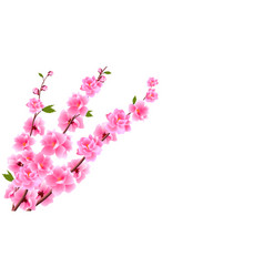sakura close up decorative flowers of cherry with vector image