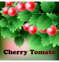 Ripe red juicy cherry tomato hang on a green vector image