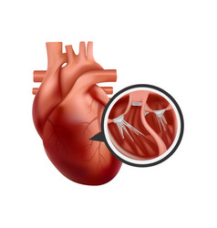3d human heart with cross-section close-up vector