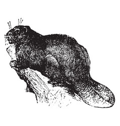 Beaver vintage vector