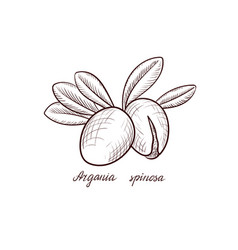 drawing nuts argania vector image