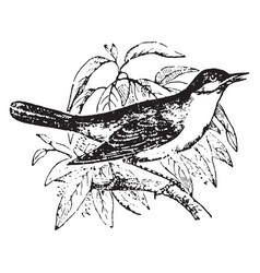 Nightingale vintage vector